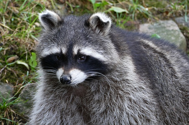 Ohio Raccoon Removal