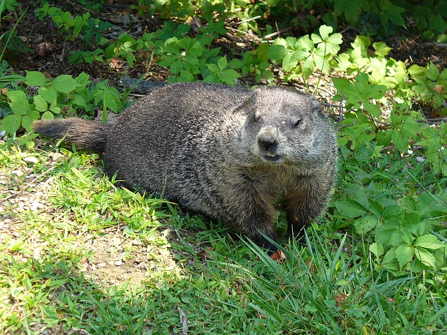Ohio Groundhog Removal