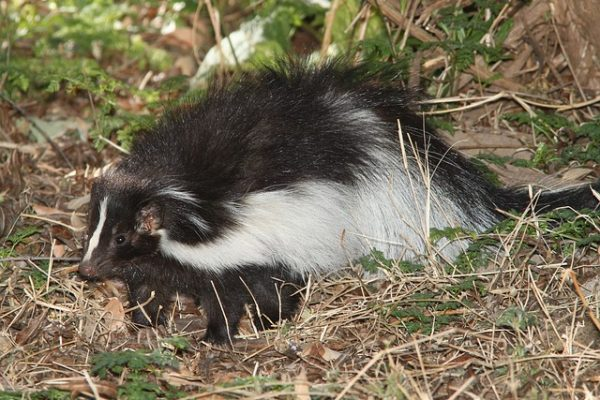 Ohio Skunk Removal