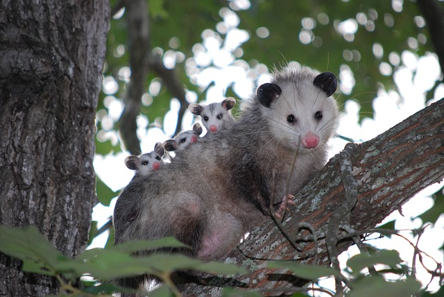Ohio Opossum Removal